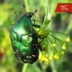 Почему летает майский жук?